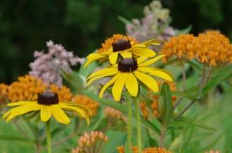 blackeyedsusan-butterflyweed