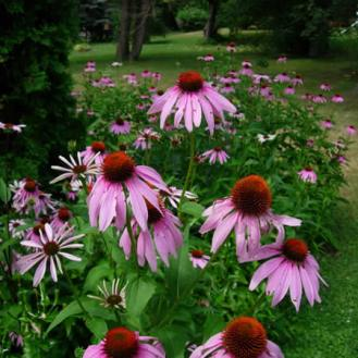 purple coneflowers prairie moon